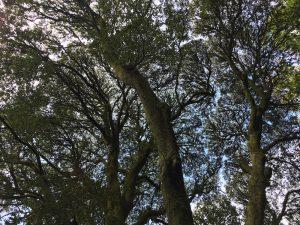killarney arbre