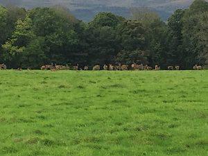 killarney cerf