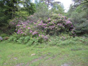 killarney rhododendron